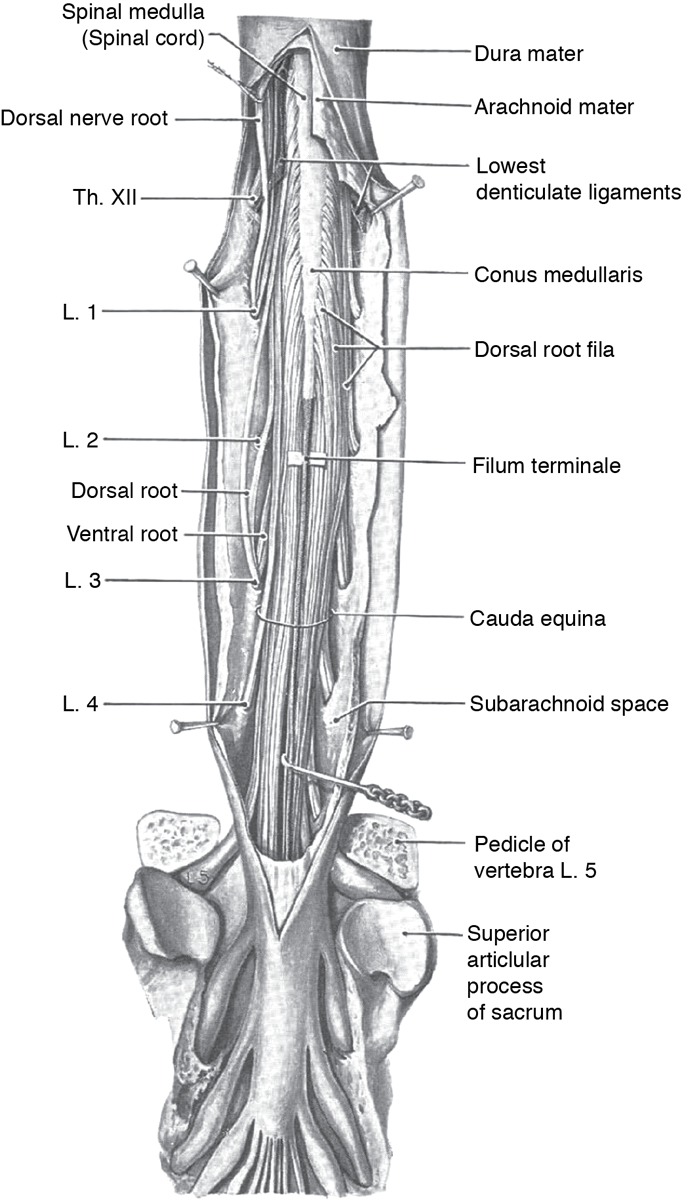 Development Anatomy And Function Of The Spinal Cord Springer Publishing Medical definition of filum terminale: spinal cord
