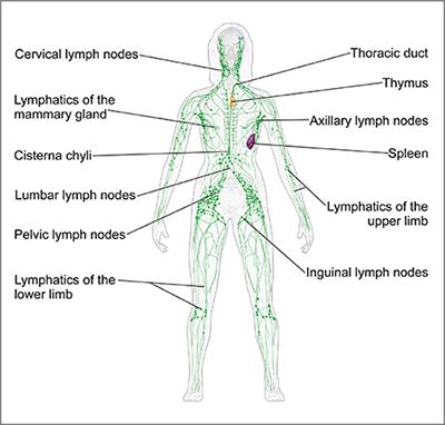 In inner thigh glands carcinogenic swollen